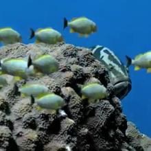 THUMB-SHARK